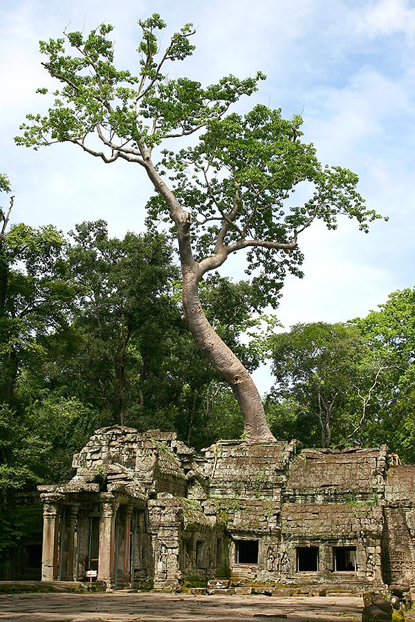 Baum, der aus einem der Tempel in Kambodscha wächst.